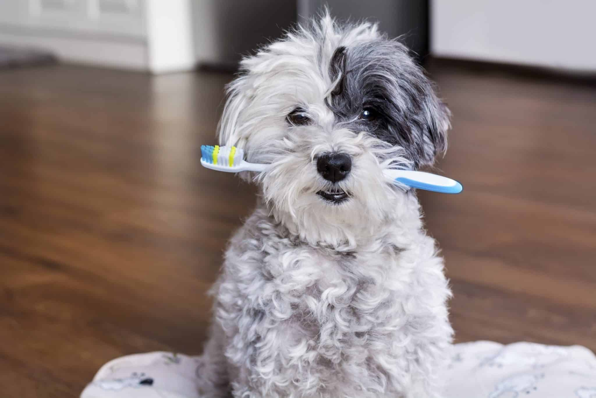 Dog holding toothbrush