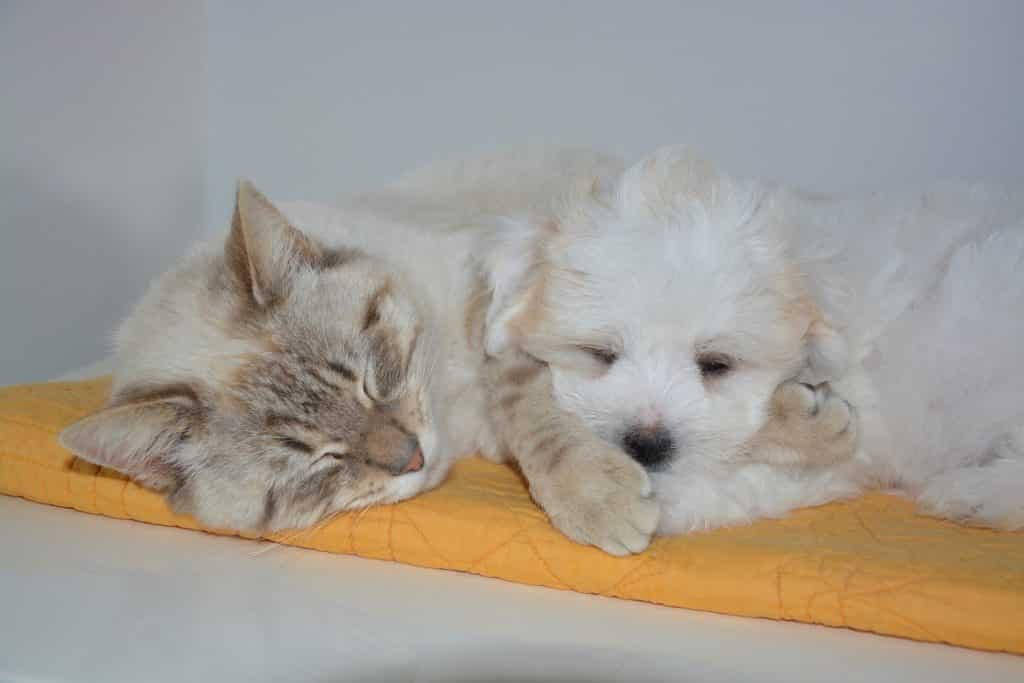 Cat lying next to puppy