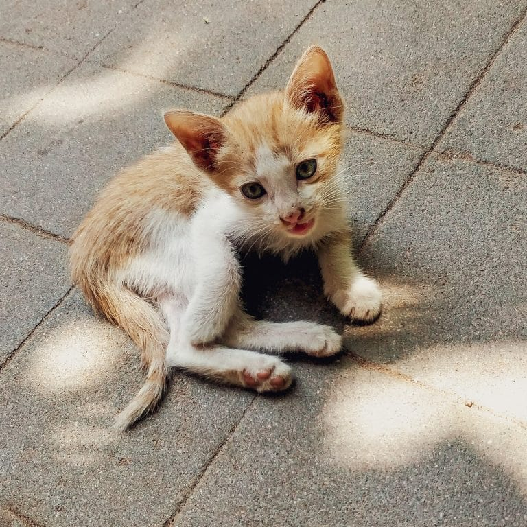 Thin kitten with waxy ears