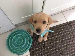 Labrador puppy sitting by puzzle feeder
