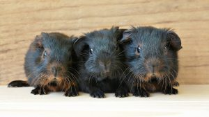 Three baby guinea pigs