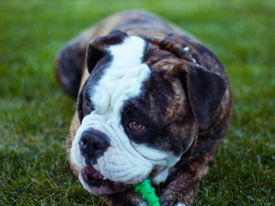 Bulldog puppy chewing toy