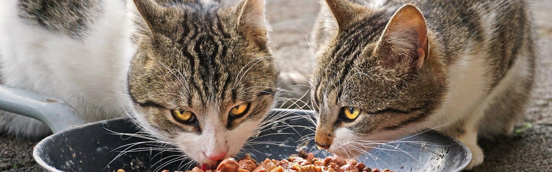 cats_sharing_bowl