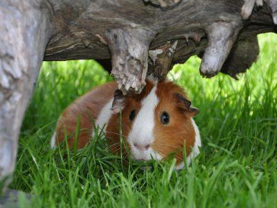 guinea_pig_hiding