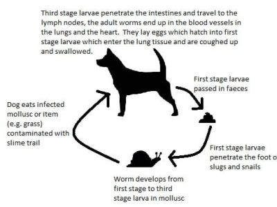 lungworm lifecycle