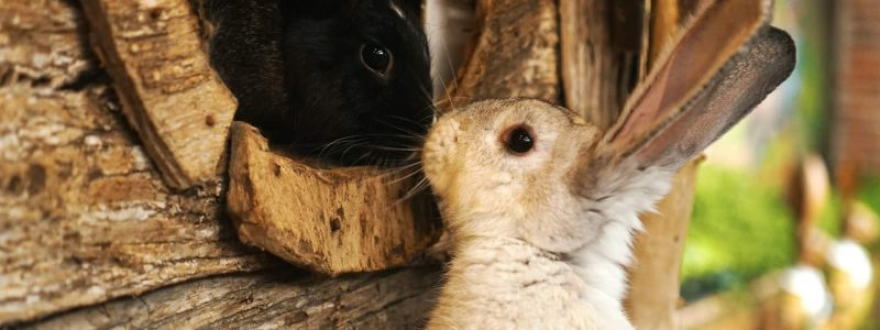 rabbits sniffing noses
