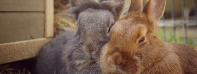 Grey lionhead rabbit and ginger rabbit snoozing together