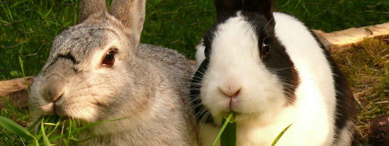 Rabbits eating grass